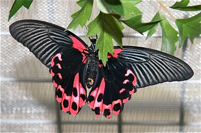 Vlinderman bij Avonturia