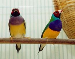 Tropische vogels te koop